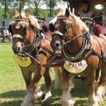 Belgisch Trekpaard (Palm Bier)