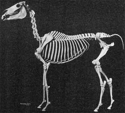 Skelet Arabier Arabisch Volbloed Paard
