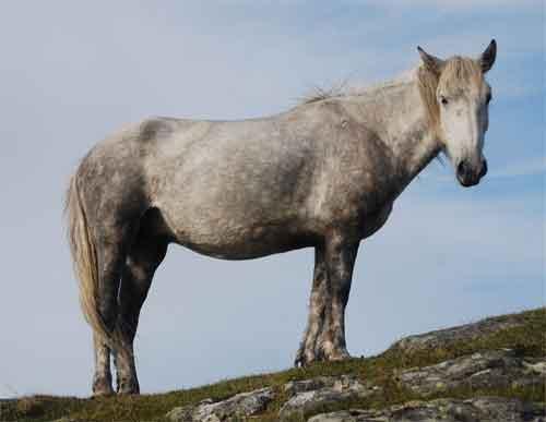 Eriskay Pony uit Schotland Informatie